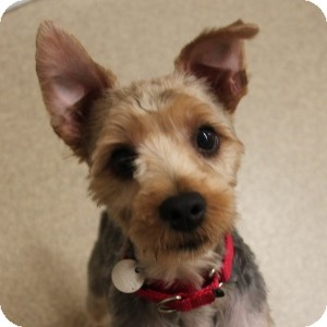 Yorkie, Yorkshire Terrier Mix Dog for adoption in Naperville, Illinois - Que
