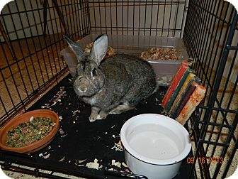Chinchilla, American Mix for adoption in Wichita Falls, Texas - Mr. Nibbles