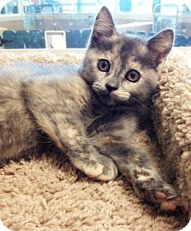 Domestic Shorthair Kitten for adoption in Dublin, California - Squeak