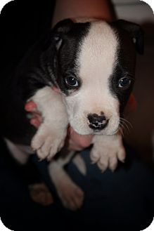 American Pit Bull Terrier Puppy for adoption in Hampton, Virginia - John