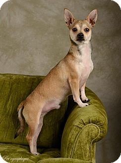 Chihuahua Mix Dog for adoption in Las Vegas, Nevada - Hugo