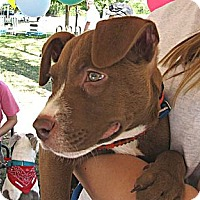 Adopt A Pet :: Baby Scrappy - Chattanooga, TN