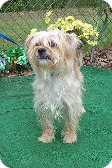 Terrier (Unknown Type, Small)/Poodle (Miniature) Mix Dog for adoption in Marietta, Georgia - CINNAMON