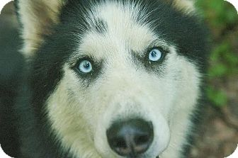 Husky Dog for adoption in North Haledon, New Jersey - Jingles - Foster Home Needed