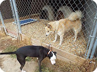 Siberian Husky Mix Dog for adoption in Watha, North Carolina - Simba (2)