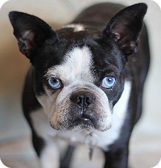 Boston Terrier/French Bulldog Mix Dog for adoption in San Pedro, California - Elmer