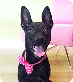 Labrador Retriever Mix Puppy for adoption in Castro Valley, California - Lorinda