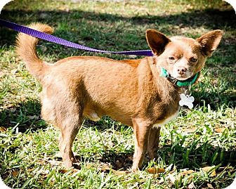 Chihuahua Mix Dog for adoption in Gainesville, Florida - Poquito
