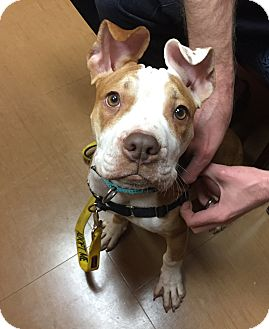 Pit Bull Terrier Mix Puppy for adoption in Newtown, Connecticut - Wilbur