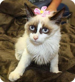 Siamese Kitten for adoption in Cottageville, West Virginia - Siam