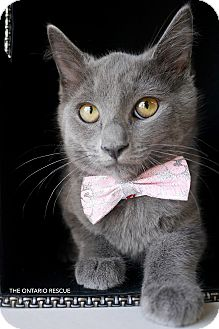 Russian Blue Kitten for adoption in Montclair, California - Felix
