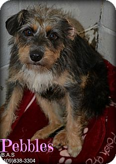 Terrier (Unknown Type, Small) Mix Dog for adoption in Beaumont, Texas - Pebbles