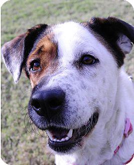 Labrador Retriever/Brittany Mix Dog for adoption in Rochester, New Hampshire - Elsa