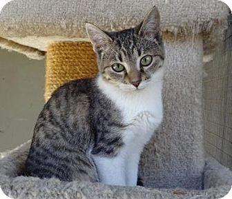 Domestic Shorthair Kitten for adoption in Lathrop, California - Hikari