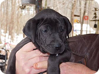 Labrador Retriever/Shar Pei Mix Puppy for adoption in Brattleboro, Vermont - Max