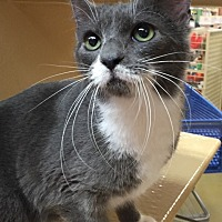 Domestic Shorthair Cat for adoption in Morganton, North Carolina - Sammy