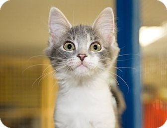 Domestic Mediumhair Kitten for adoption in Seville, Ohio - Carol