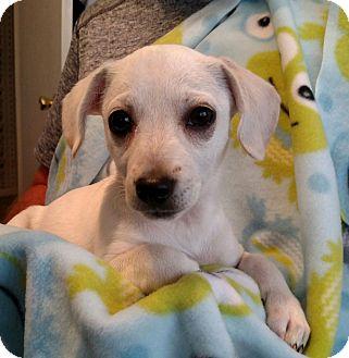 Dachshund/Chihuahua Mix Puppy for adoption in Huntsville, Alabama - Gracie