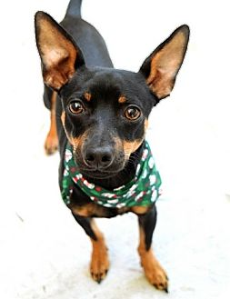 Miniature Pinscher Mix Dog for adoption in Dublin, California - Bear