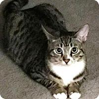 Domestic Shorthair Cat for adoption in Castro Valley, California - Gigi