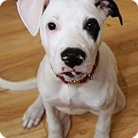 Adopt A Pet :: Kinley - Seattle, WA