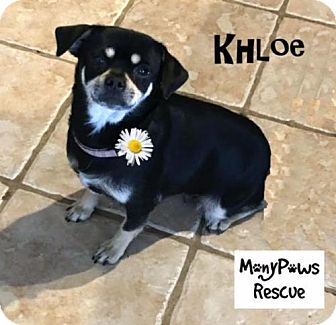 Pug/Chihuahua Mix Dog for adoption in Fort Worth, Texas - Khloe---Courtesy Listing