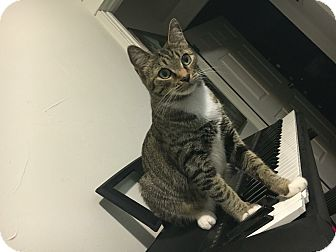Domestic Shorthair Cat for adoption in Los Angeles, California - Skinny