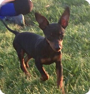 Miniature Pinscher Mix Puppy for adoption in Glastonbury, Connecticut - Stewie