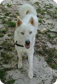 Husky Mix Dog for adoption in Daleville, Alabama - Mia