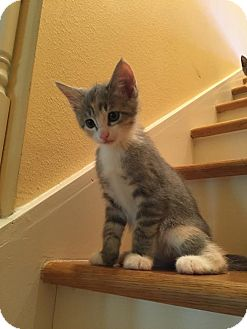 Domestic Shorthair Kitten for adoption in Gainesville, Florida - Coral