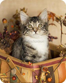 Domestic Shorthair Kitten for adoption in Oviedo, Florida - Emily