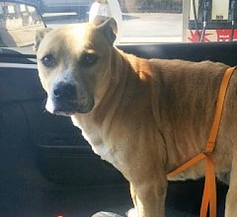 Shar Pei Mix Dog for adoption in Union City, Tennessee - Dean