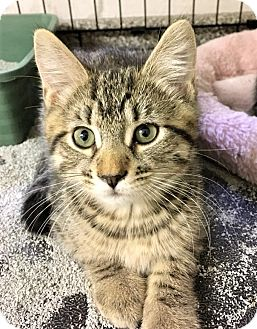 Domestic Shorthair Kitten for adoption in River Edge, New Jersey - Anemone
