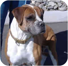 Boxer Dog for adoption in Reno, Nevada - Mayberry