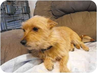 Australian Terrier/Norwich Terrier Mix Dog for adoption in Wilminton, Delaware - Valerie