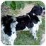 Photo 4 - Shih Tzu/Spaniel (Unknown Type) Mix Dog for adoption in Proctorville, Ohio, Ohio - Cooper