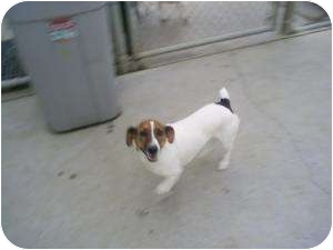 Jack Russell Terrier/Corgi Mix Dog for adoption in Collinsville, Oklahoma - Barney