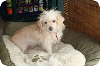 Terrier (Unknown Type, Small)/Dachshund Mix Dog for adoption in Beavercreek, Ohio - CHERRY
