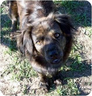 Spaniel (Unknown Type)/Sheltie, Shetland Sheepdog Mix Dog for adoption in Waller, Texas - Lexie