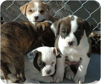 English Bulldog/Boxer Mix Puppy for adoption in Ripley, Tennessee - Bulldog Pups