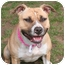 Photo 3 - American Staffordshire Terrier Mix Dog for adoption in Islip, New York - Daisy