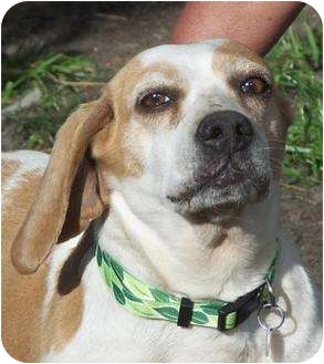 Beagle Mix Dog for adoption in Warsaw, Indiana - May