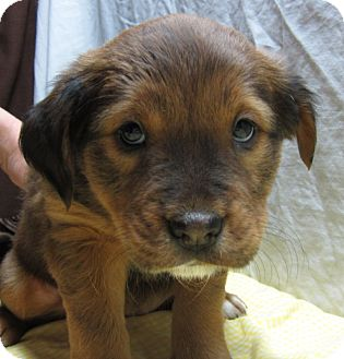 Chow Chow Mix Puppy for adoption in Manchester, Connecticut - Sleepy