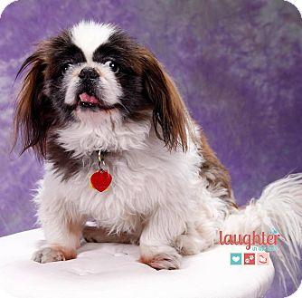 Pekingese/Shih Tzu Mix Dog for adoption in Las Vegas, Nevada - Sammy