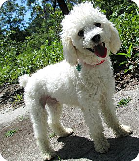 Poodle (Miniature)/Bichon Frise Mix Dog for adoption in Forked River, New Jersey - Frederick