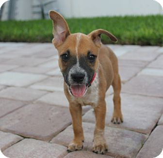 Australian Cattle Dog/American Staffordshire Terrier Mix Puppy for adoption in Ft. Myers, Florida - Moxie