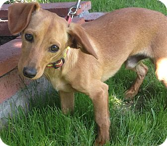 Dachshund Mix Puppy for adoption in Poway, California - BENNY