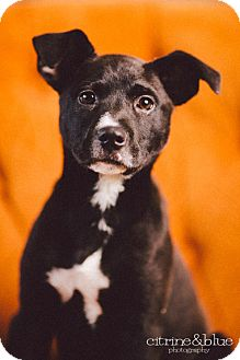 Border Collie/Labrador Retriever Mix Puppy for adoption in Portland, Oregon - Maggie Mae