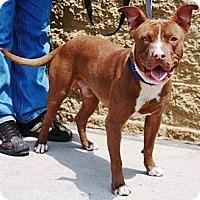 Adopt A Pet :: Butch - Gilbert, AZ