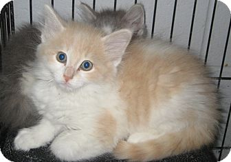 Domestic Longhair Kitten for adoption in Florence, Indiana - Nelson